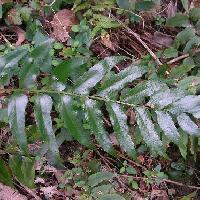 オシダ科 ヤブソテツの葉