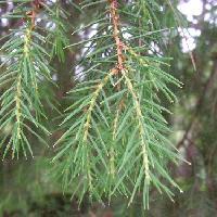 ビャクシン属 若い枝は垂れ下がる 針状の葉