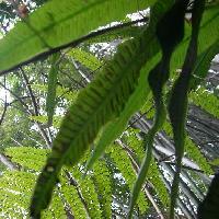 イワデンダ科 葉の裏には胞子嚢が並んでいる