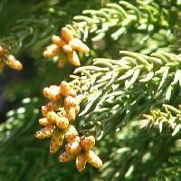 スギ属 冬 黄褐色 雄花