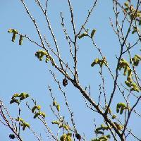 ハンノキ属 芋虫のような黄緑色の雄花