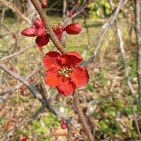 ボケ属 冬春 赤い花