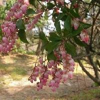 アセビ属 春 ピンクの花の園芸種