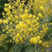 アカシア属 初春に黄色い花を多数つける
