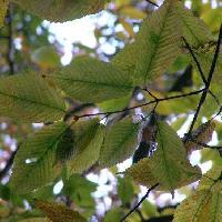 カエデ属 葉は対生し秋には黄色やオレンジ色に紅葉 倒卵形楕円形鋸歯
