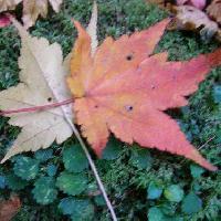 カエデ属 葉は5裂する