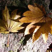 カエデ属 葉は9から11裂する