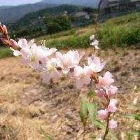 イヌタデ属 初秋に可憐なピンクの花を咲かせる