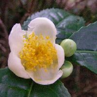 ツバキ属 冬に白い花が咲く 黄色い花糸とのコントラストが印象的