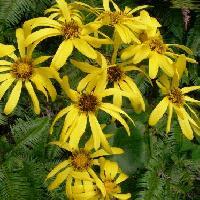 ツワブキ属 秋に黄色い花が咲