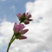 イヌタデ属 夏から秋にかけて小さなピンクの花が咲く