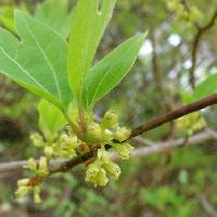 クロモジ属 春に咲く黄緑色の小さな花