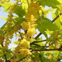カエデ属 春に黄色い花が房状につながって垂れ下がる