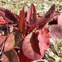 ギシギシ属 冬はロゼット葉ですごし赤くなることが多い 長楕円形 互生