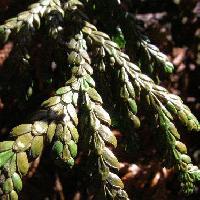 アスナロ属 葉はうろこ状 ヒノキより鱗片が大きい