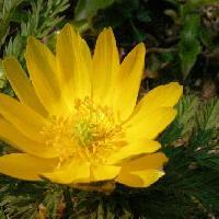 フクジュソウ属 晩冬から春にかけて鮮やかな黄色い花を咲かせる