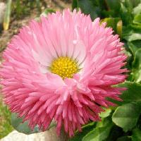 ヒナギク属 春 ピンク