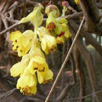 トサミズキ属 春 黄