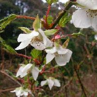 キイチゴ属 春に咲く白い5弁花