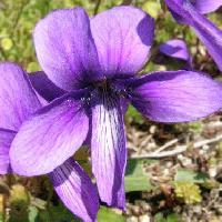 スミレ属 春 紫