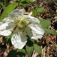 キイチゴ属 春 白 5弁花