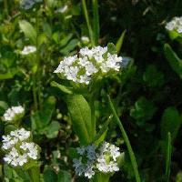 ノヂシャ属 春 小さく白い花