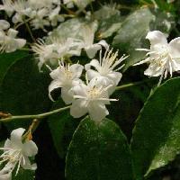 ハイノキ属 春 花糸の目立つ白い花
