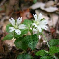 ハコベ属 春 小さな切れ込みのある白い花