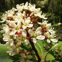 ミヤマシキミ属 春 白