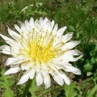 タンポポ属 春 白