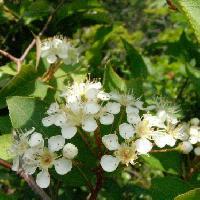 カマツカ属 晩春 小さく丸くて白い花弁
