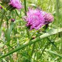 アザミ属 春から初夏 赤紫