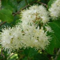 ハイノキ属 晩春~初夏 花糸の目立つ白い花