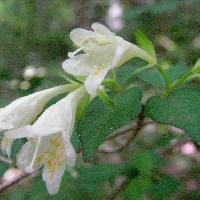 ツクバネウツギ属 晩春から初夏 黄色い模様のある白い花