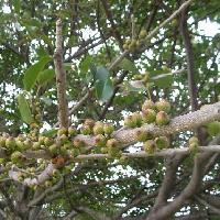 イチジク属 夏赤茶色に熟す小さな球形でイチジクのような実をたくさんつける