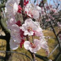スモモ亜属 春 赤みを帯びた白い花、ピンク