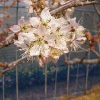 サクラ亜属 春 淡い赤みを帯びた白い花