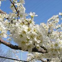 スモモ亜属 春 白い花