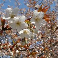 サクラ亜属 春 白 山桜 ヤマザクラ