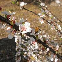 ニワウメ亜属 春 小さな白い花