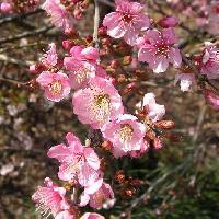 ニワウメ亜属 春 ピンク