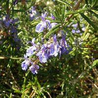 マンネンロウ属 春~夏 薄紫の花