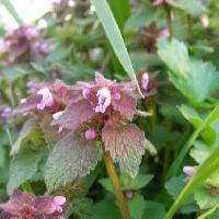 オドリコソウ属 初春 ピンク、赤紫