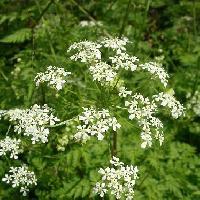 シャク属 春 小さな白い5弁花