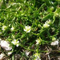 ツメクサ属 春 極小さな白い花