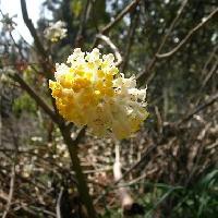 ミツマタ属 春 黄
