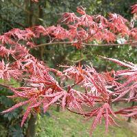 カエデ属 新葉も赤い