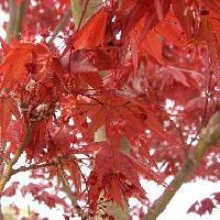 カエデ属 小さな赤い花