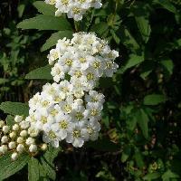 シモツケ属 春 小さな白い花