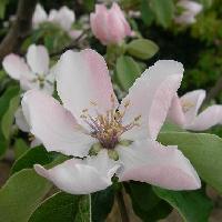 マルメロ属 春 白い花 ややピンク